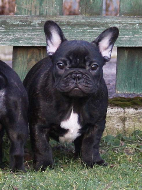 French Bulldog Garm 3 month 1 week old